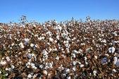 Cotton Field — Stock Photo