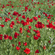 Red poppies field — Stock Photo #3230152