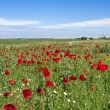 Red poppies field — Stock Photo #3230154