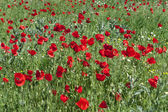 Red poppies field — Stock Photo