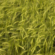 Wheat crop field — Stock Photo