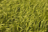 Wheat crop field — Stock Photo