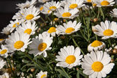 Bellis perennis growing in the garden — Stock Photo