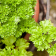 Parsley — Stock Photo #3340934