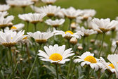 Bellis perennis — Stock Photo