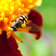 Stock Photo: Hoverfly
