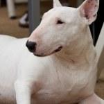 Bullterrier — Stock Photo #3705621