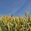 Wheat Crop — Stock Photo