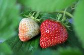 Ripe and unripe Strawberries — Stock Photo