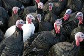 Turkeys Three — Stock Photo