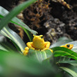 Yellow Poison Dart Frog — Stock Photo