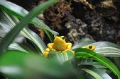 Yellow Poison Dart Frog — Stock Photo