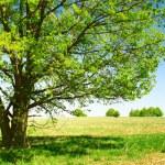 Tree — Stock Photo #3271532
