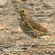 Turdus philomelos Song Thrush — Stock Photo