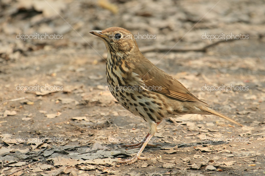 Turdus philomelosSong Thrush — Stock Photo #3185017