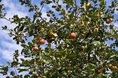 Elma ağacı dalı — Stok fotoğraf