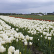 Field of flowers with tulips — Stock Photo #3182235