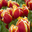 Tulpen — Stock Photo #3218416