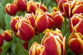 Tulpen — Stock Photo