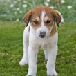 Stock Photo: Beagle puppy in garden