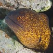 Yellow-edged moray eel — Stock Photo