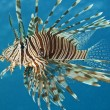 Red Sea lionfish — Stock Photo