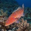 Coral grouper on a reef — Stock Photo