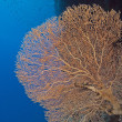 Gorgonian fan coral on a wall — Stock Photo