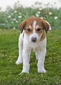 Beagle puppy in the garden — Stock Photo