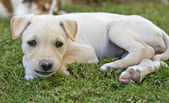 Puppy laying in the garden — Stock Photo