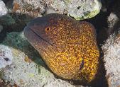 Yellow-edged moray eel — Stock Photo
