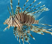 Röda havet lionfish — Stockfoto