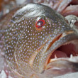 Fresh grouper fish on ice — Stock Photo