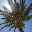 Date palm tree in the sun — Stok fotoğraf