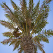 Date palm tree in the sun — Foto Stock