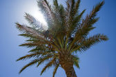 Date palm tree in the sun — Stock Photo