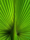 Palm Leaf radius — Stock Photo