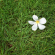 Plumeria on grass — Stockfoto