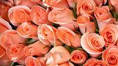 Light orange color roses — Stock Photo