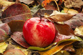 Red ripe apple fallen in autumn leaves — Stock Photo