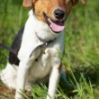 Fox Terrier (Smooth). Funny dog looking at camera. — Stock Photo