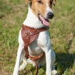 Stok fotoğraf: Fox Terrier (Smooth). Funny dog looking at camera.