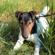 Fox Terrier (Smooth) — Stock Photo
