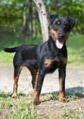 Jagdterrier (German Hunt Terrier) — Stock Photo