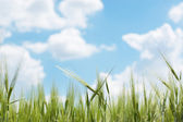 Ears of wheat against blue spring sky — Stock Photo