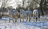 White horses in a snowy meadow — Stock Photo