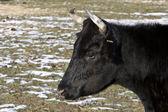 Bull head — Stock Photo
