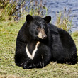 Seated black bear — Stock Photo