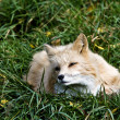 Fox on gras - Stock Photo