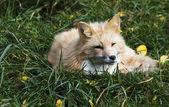 Fox — Stock Photo